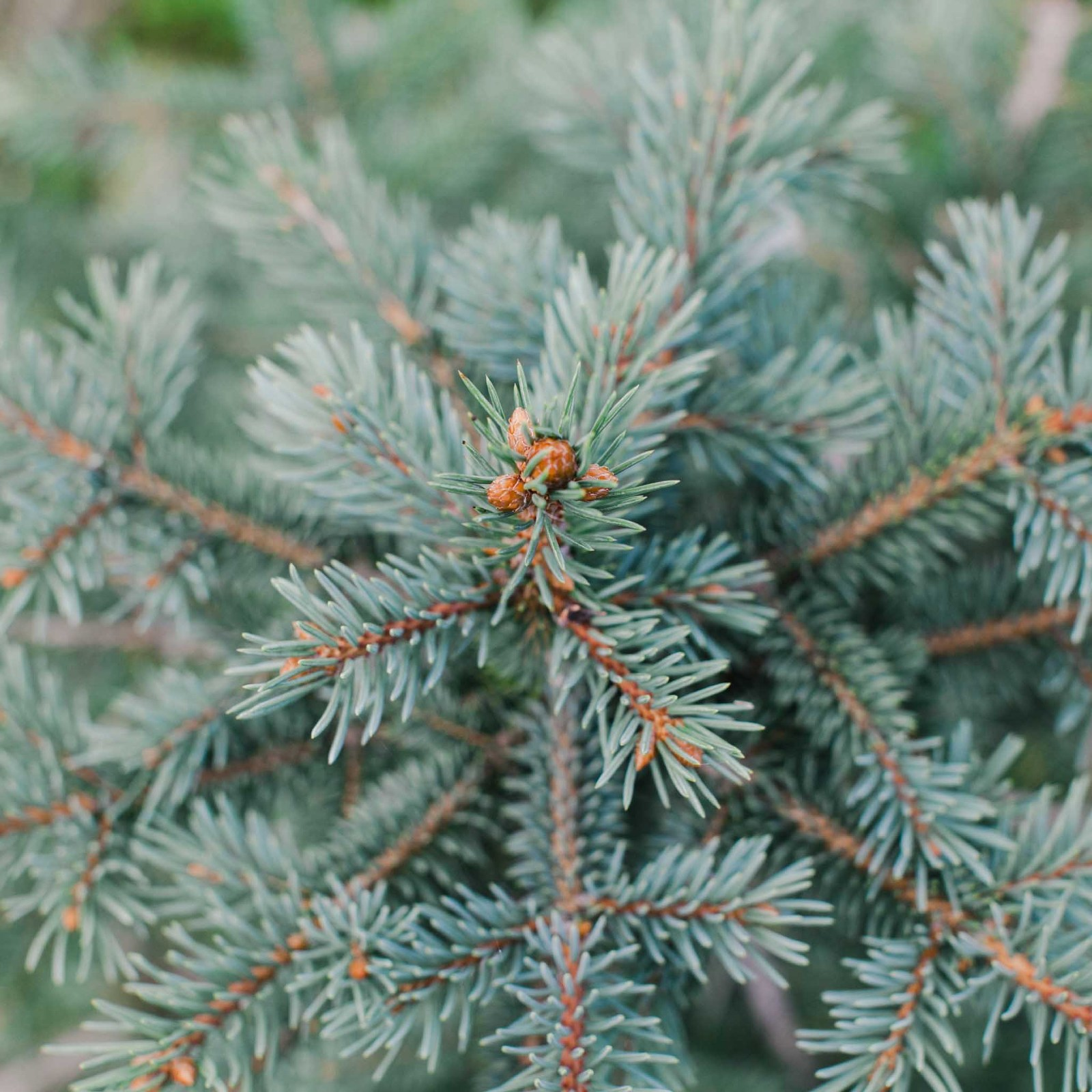 Close up of a Christmas tree